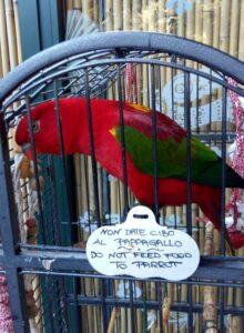 Ischia - papuga